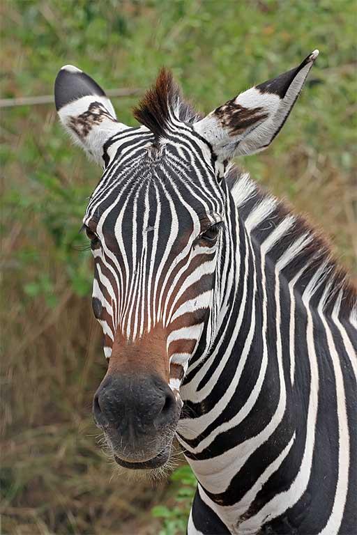 zebra-page-photo
